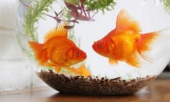 Золота рибка: історичні факти і різновиди риб, які виконують бажання