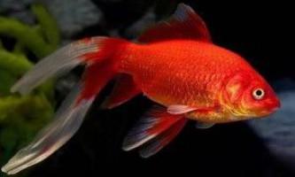 Золота рибка комета