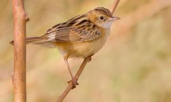 Золотиста цістікола: спосіб життя і місця проживання співочої птиці