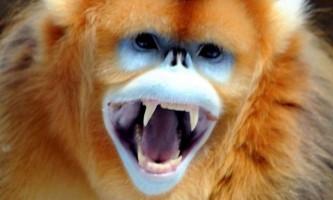Золотиста мавпа - «снігова примат»