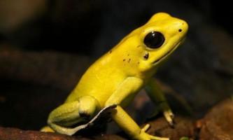 Золотистий древолаз (лат. Dendrobates altobueyensis)