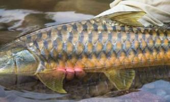 Золотий махсір - рідкісна риба зі спартанським характером