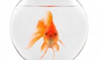 Золоті рибки: акваріумні види