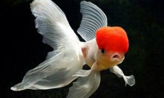 Золоті рибки: хвороби і лікування
