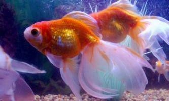 Золоті рибки: різноманітність видів