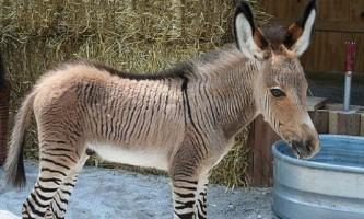 Зони - смугаста зебра, схрещена з малюком-поні