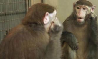 Зоологи навчили мавп впізнавати себе в дзеркалі