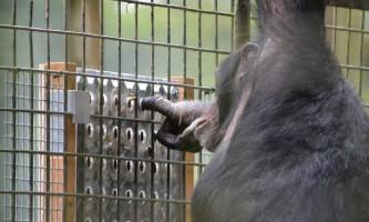 Зоологи виявили, що шимпанзе отримують задоволення від інтелектуальної роботи