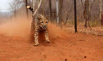 Зоологи вперше виміряли швидкість гепардів в дикій природі