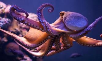 Зоологів спантеличив бум чисельності головоногих молюсків