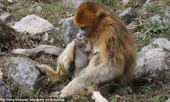 Зоологів вразив професіоналізм мавпи-акушера