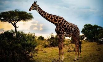 Зоопарк новосибірська запланував завести жирафів до кінця наступного літа