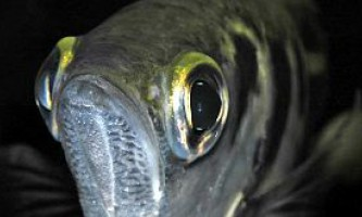 Зір риб не так вже сильно відрізняється від людського