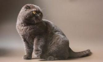 Зубний камінь у кішок: симптоми, лікування, профілактика